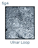 ulnar loop fingerprint